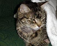 feline lymphoma steroid treatment